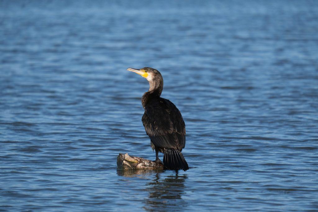 Arrêté préfectoral autorisant la destruction des grands cormorans